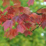 Acer – Ahorn – Leuchtendes Farbenfeuerwerk für jede Gartengröße