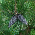 Pinus leucodermis und Pinus leucodermis 'Compact Gem' – Schlangenhautkiefer