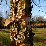 Betula nigra – береза черная