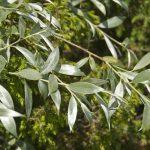 Salix alba – Ива белая (ветла, белолоз, белотал)