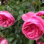 Rose 'Leonardo da Vinci' – Роза Флорибунда 'Leonardo da Vinci' ®