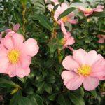Camellia sasanqua – Камелия сасанква