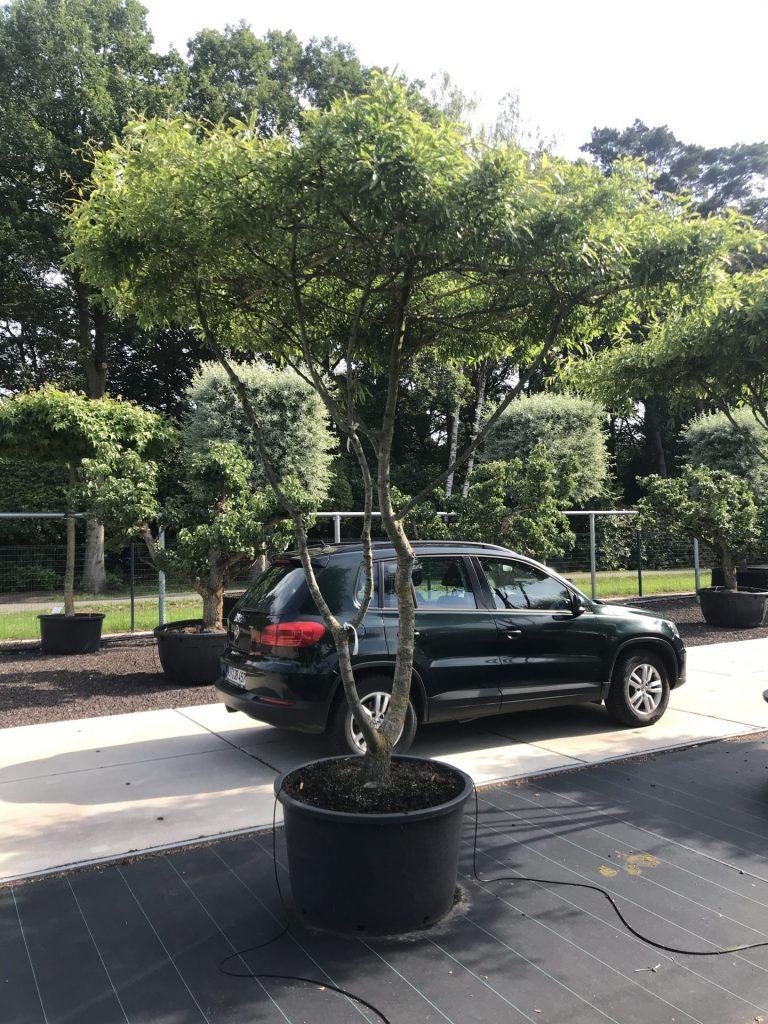 Quercus phellos - die Weidenblättrige Eiche