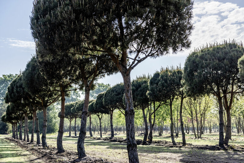 Pinus sylvestris - Die Waldkiefer/Föhre - Zukunftsbaum