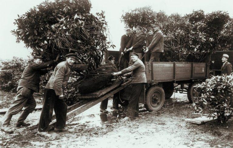 Verladung von Rhododendron mit Hilfe von Spiegel- und Rollwagen in den 1960er Jahren