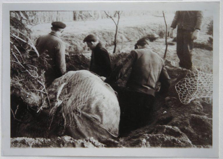Versandarbeiten um 1960 – Ballierung Baum