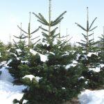 Abies – Tanne / Picea – Fichte