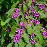 Callicarpa bodinieri ꞌProfusionꞌ – Schönfrucht
