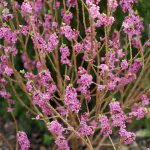 Daphne mezereum– Seidelbast