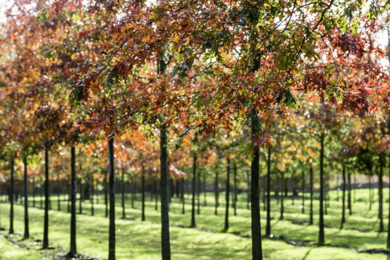 Quercus Palustris Herbsfärbung