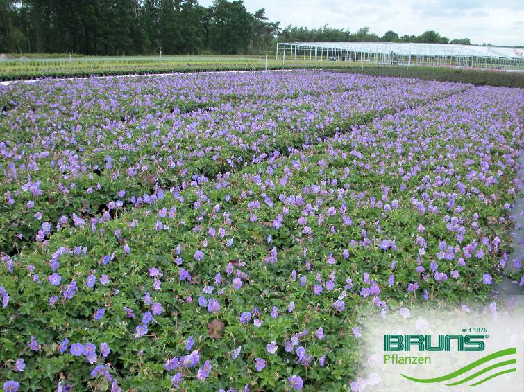 Geranium wallichianum 'Rozanne'®