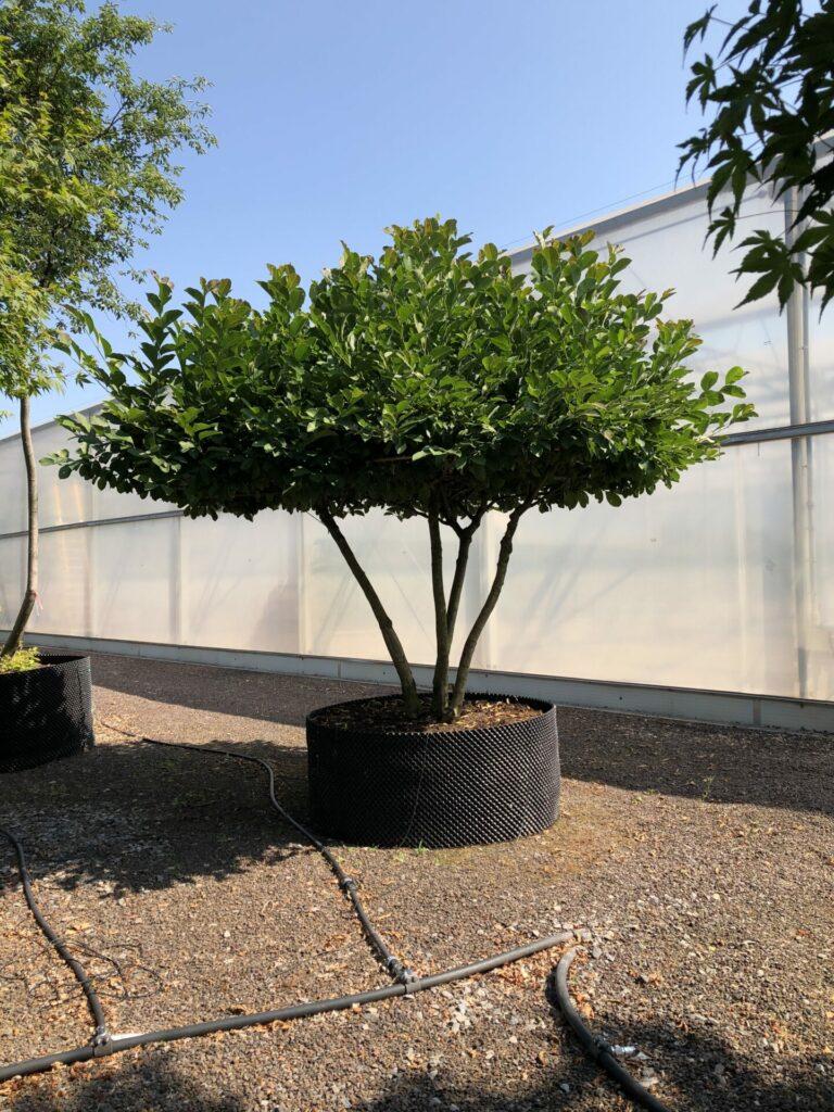 Magnolia x loebneri 'Merril'