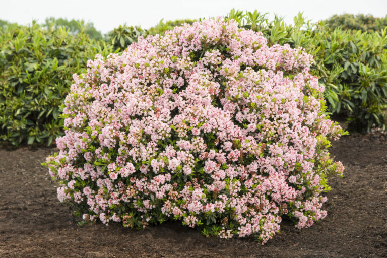 Rhododendron micranthum 'Bloombux®'