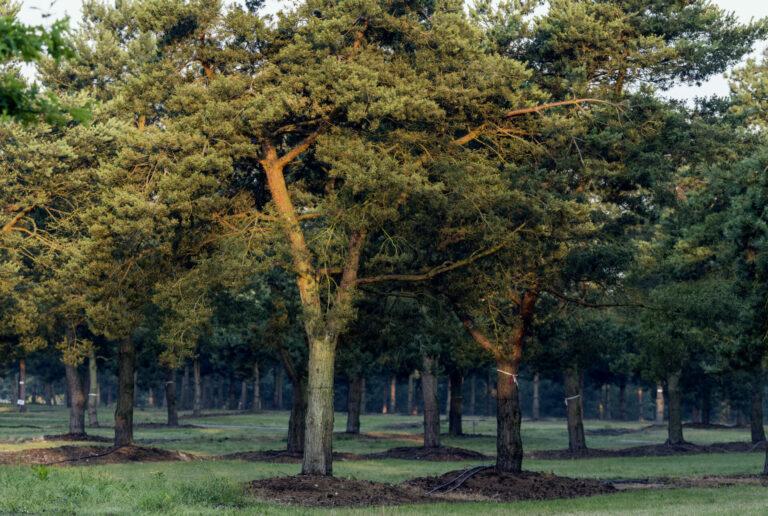 Pinus sylvestris_