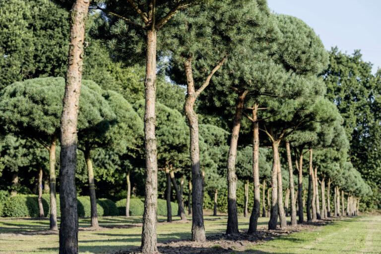 Pinus sylvestris Pinie
