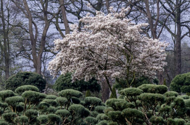 Pinus sylvestris 'Watereri' & Amelanchier lamarkii