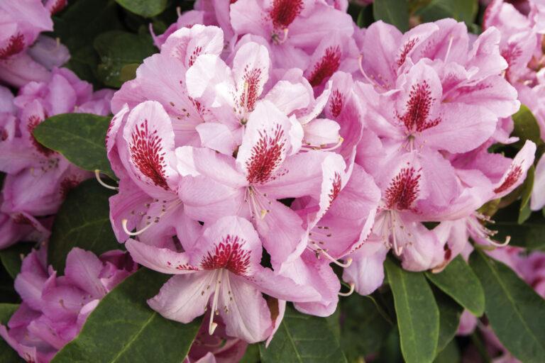 Rhododendron 'Furnivalls Daughter'