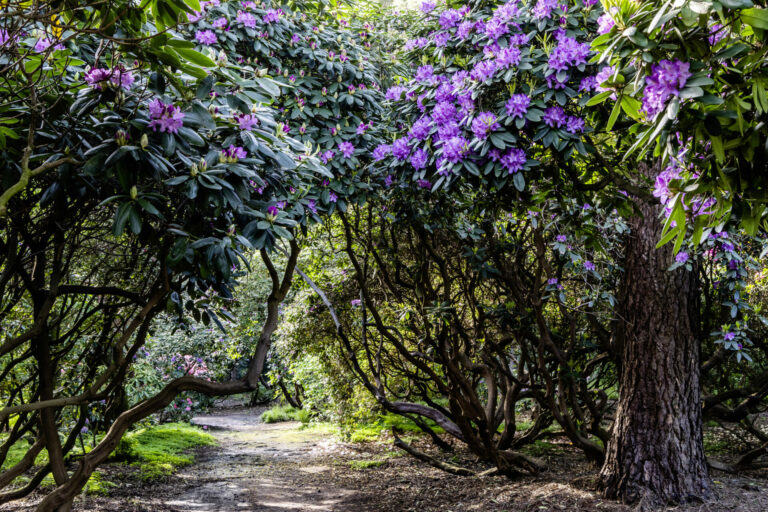 Rhododendronpark Gristede____