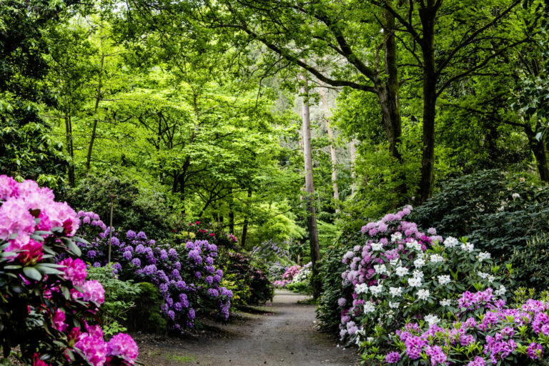 Rhododendronpark Gristede in Blüte __