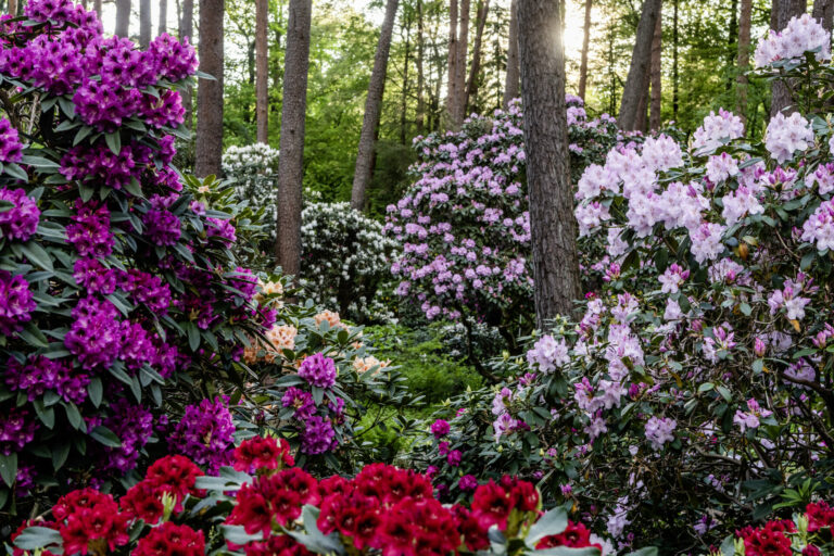 Rhododendronpark Gristede in Blüte