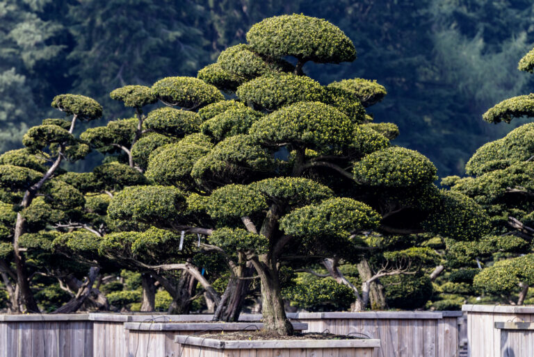 Taxus cuspidata Niwaki