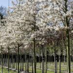 Amelanchier arborea 'Robin Hill' – Felsenbirne