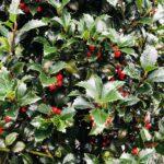 Ilex x meserveae 'Heckenfee' – Fruchtdeko zum Weihnachtsfest