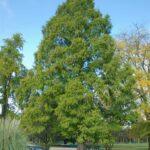 Metasequoia glyptostroboides – Urweltmammutbaum – Zukunftsbaum