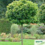 Quercus palustris 'Green Dwarf' – Дуб болотный 'Green Dwarf'