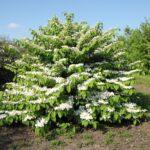 Viburnum plicatum 'Mariesii' – Калина складчатая 'Mariesii'
