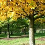 Pterocarya fraxinifolia – die Flügelnuss