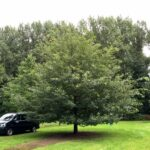Quercus petraea, die Trauben-Eiche oder auch Winter-Eiche