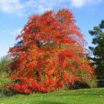 Nyssa sylvatica, ein sehr guter Zukunftsbaum, auch Tupelobaum genannt.